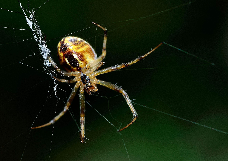 蜘蛛(节肢动物)