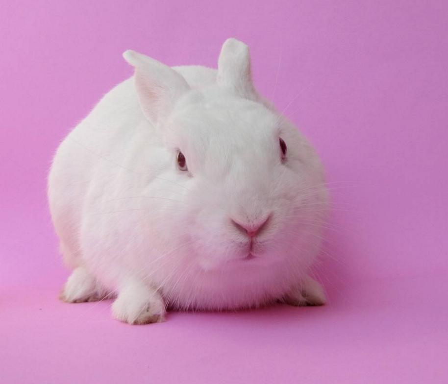 小白兔(草食性脊椎动物) - 搜狗百科