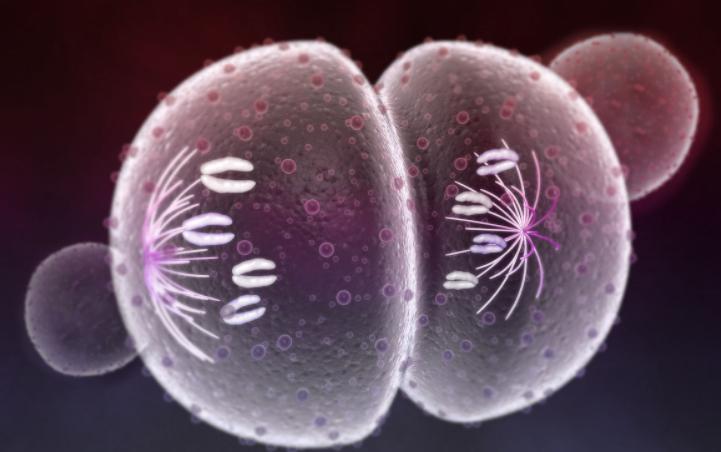 全部版本 历史版本  动物细胞有丝分裂的过程,与植物细胞的基本相同