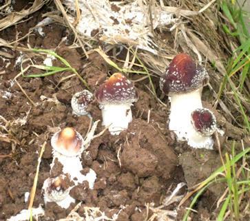 为什么掌握蕈菌的栽培原理_十万个为什么手抄报