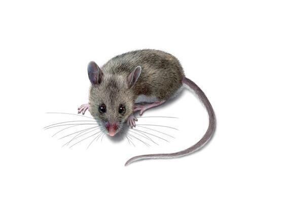 鼠(鼠科动物的统称)