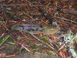 太平洋香蕉蛞蝓_太平洋香蕉蛞蝓 - 搜狗百科