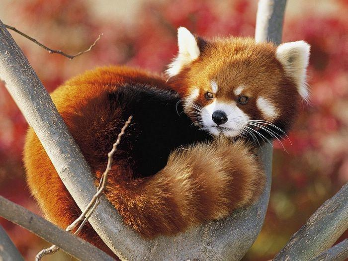 小熊猫(哺乳纲食肉目动物)