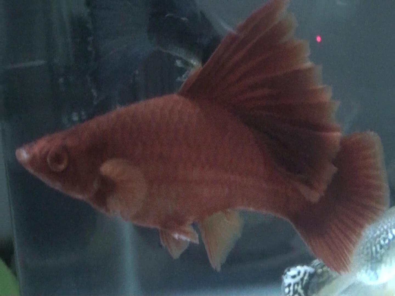 50块钱就这么一条小鱼,高鳍红剑鱼,新手就不要入坑了,不好养