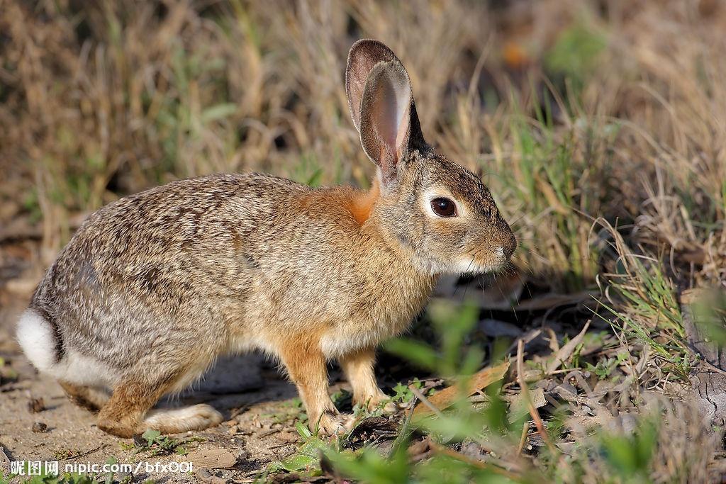 湖南野兔养殖基地 野兔种兔 肉兔种 宠物兔
