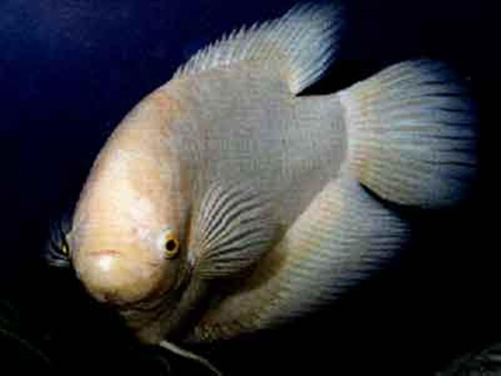 黄尖鱼百科
