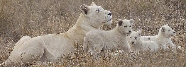2006年,动物保护学家已经给兹 赫拉一家装上跟踪装置,放生了白狮妈妈