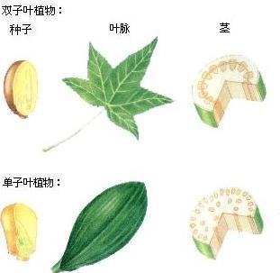 单子叶植物纲