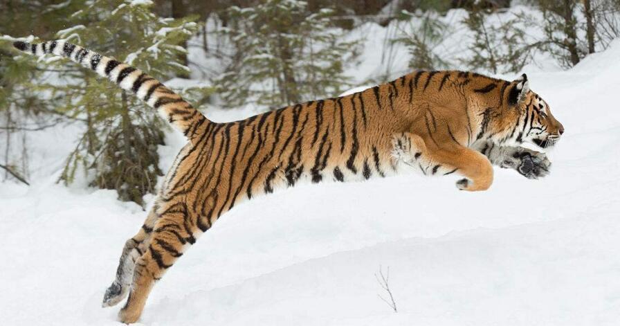 西伯利亚虎(猫科动物) - 搜狗百科