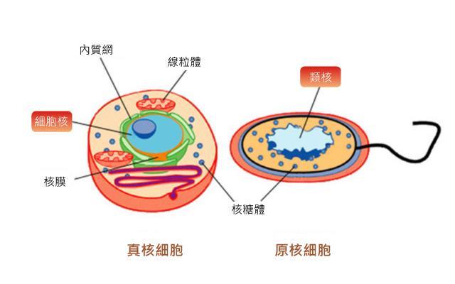 这种细胞不发生原生质流动,观察不到变形虫样运动.鞭毛呈单一的结构.