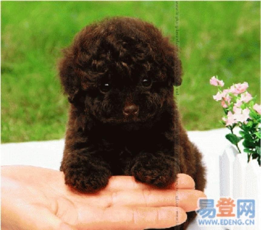 茶杯泰迪犬图册图片