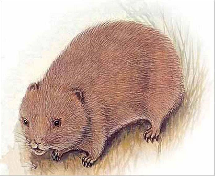 鼠科动物图片名称大全