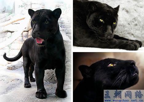 黑豹(猫科动物)