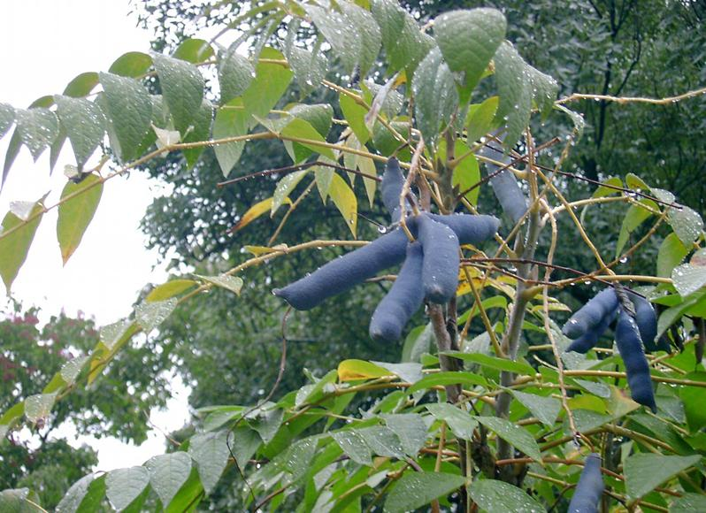 物种并非都是动物,植物也占据一席之地,比如图片中呈现的新野香蕉物种