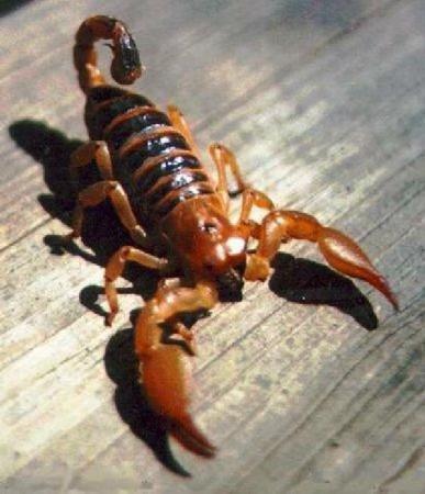 蝎子(蛛形纲动物) - 搜狗百科