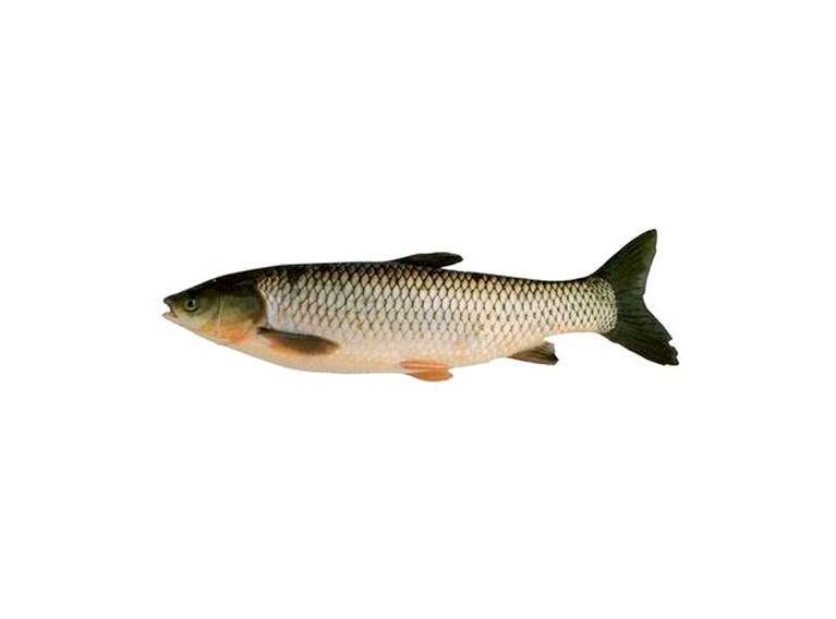 草鱼的俗称有 鲩,油鲩,草鲩,白鲩,草鱼,草根 东北 ,混子,黑青鱼等.