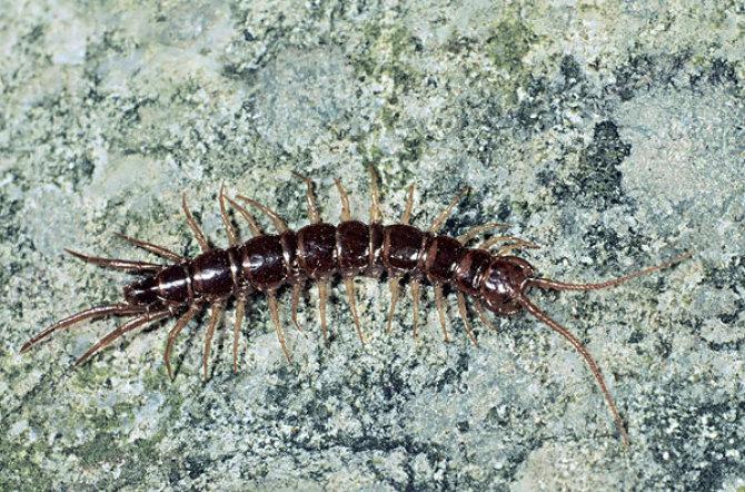 蜈蚣(节肢动物)