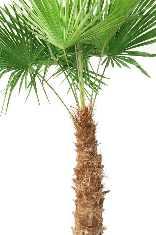 棕树叶编织帽子