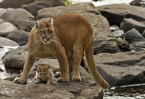美洲狮(体型最大的猫亚科动物) - 搜狗百科