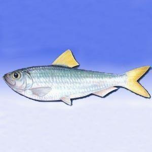 呈长椭圆形,一般体长10~12厘米,体重8~10克,头小,尾短,有发达的脂