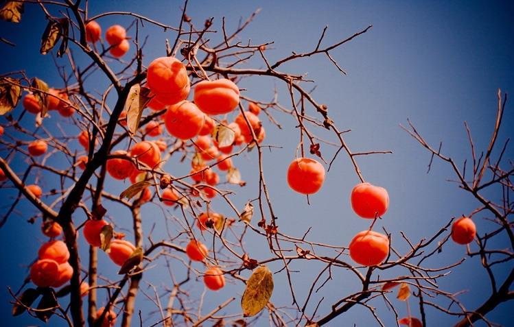 柿子树 柿子树是落叶乔木 搜狗百科