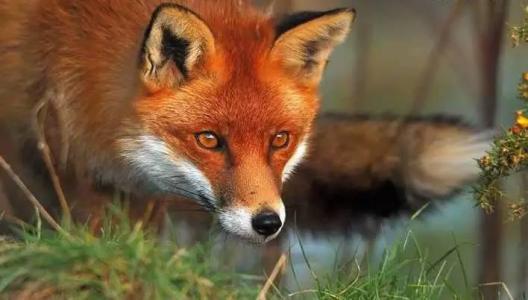 极超清动物赤狐图片