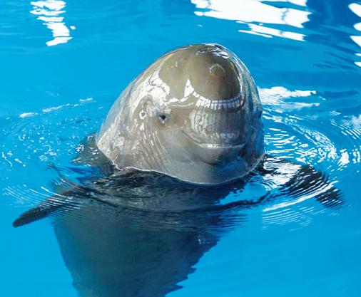 鲸鱼种类-白鳍豚 淡水鲸类 搜狗百科