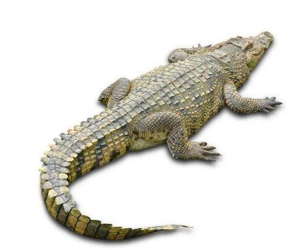 鳄鱼(爬行动物)
