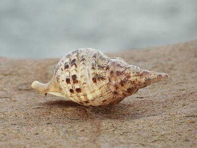 海螺等贝类生物是卵生或卵胎生动物(是介于卵生和胎生之间的一个过渡