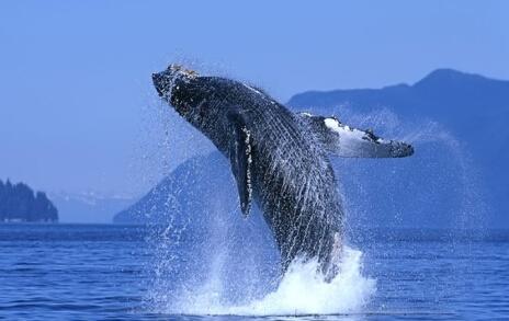 壁纸 动物 海洋动物 鲸鱼 桌面 464_293