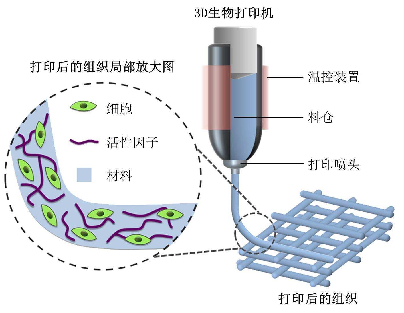 瘦的生物原理_中国科学院上海药物研究所谢欣课题组与中国科学院上海有机化学研究所俞飚课题组合作,发现了减肥植物蝴蝶亚仙人掌的有效成分及减肥机