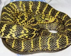 王锦蛇(学名:elaphe carinata;英文名称:king rat snake),也叫臭王蛇、黄喉蛇等,属   游蛇科   蛇类,体大凶猛,无毒,食谱广泛,已被列入中国   国家林业局   《国家保护的有益的或者有重要经济、科学研究价值的陆生野生动物