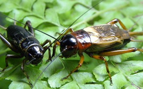 蟋蟀简笔画步骤漂亮