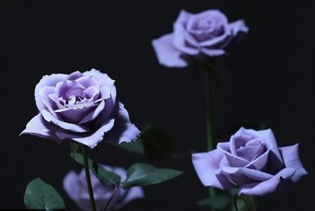 蓝玫瑰为月季花染色而成.    [1]