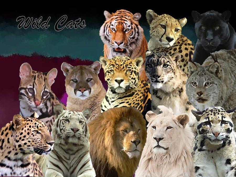 猫科动物(哺乳纲一科动物统称)