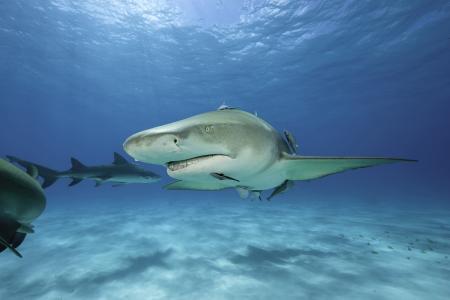 野生动物摄影师约翰·查帕拍下了一组潜水游客与柠檬鲨近距离接触的照