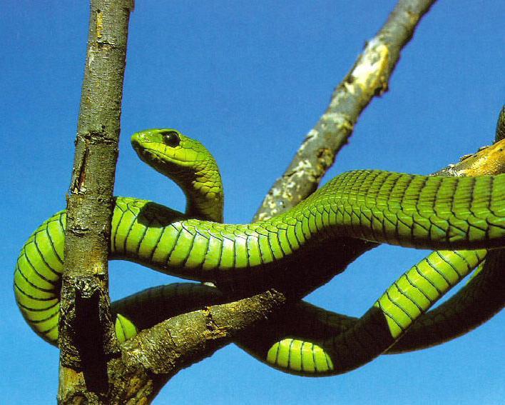 蛇(蛇亚目动物的统称)