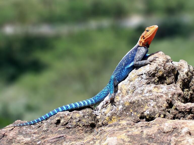 有鳞目蜥蜴亚目内爬行动物的总称