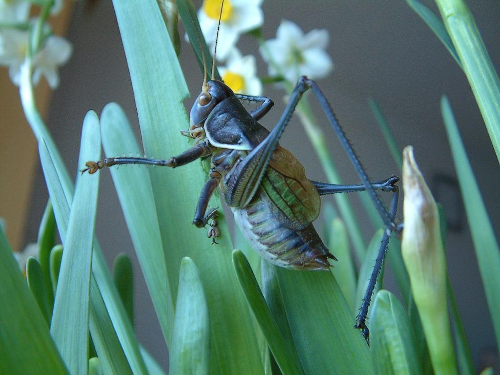 昆虫图集:蝈蝈