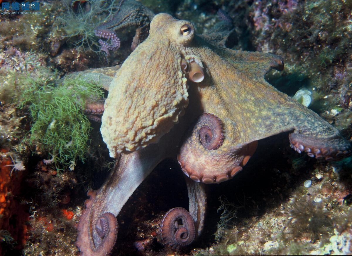 乌贼与章鱼的区别在哪里?_哈博望远镜_新浪博客