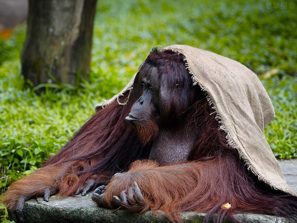 它们是世界上最大的树栖,也是繁殖最慢的——哺乳动物.