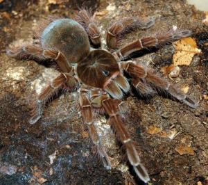 Ядовитый тарантул Фото пауков
