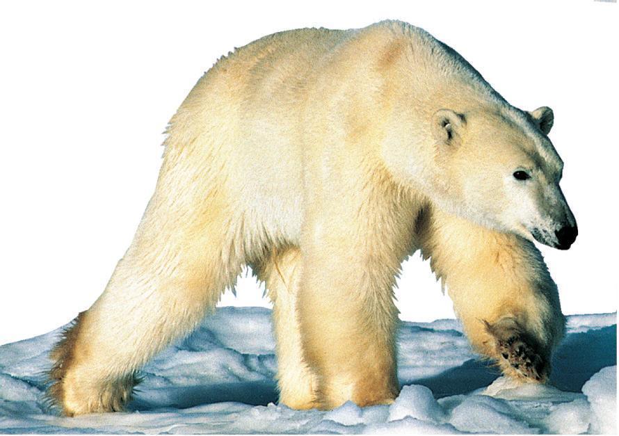 北极熊(熊科动物的一种)