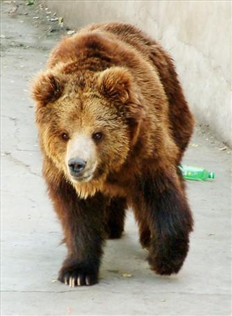 如何将熊童子养成熊树林