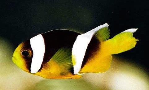 小丑鱼 分布于印度洋中的珊瑚礁海域,属雀鲷科,体长10~15cm,椭圆形.