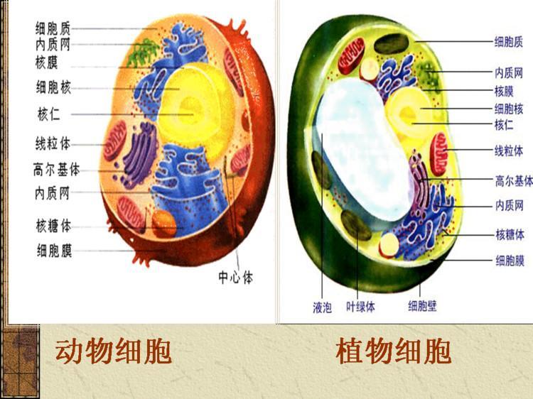 整个细胞质呈现复杂的结构秩序.