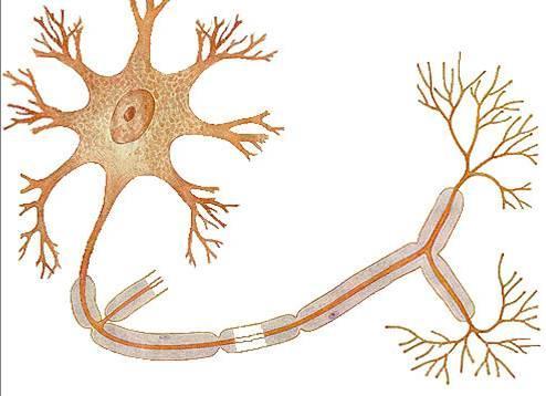 神经细胞亚显微结构
