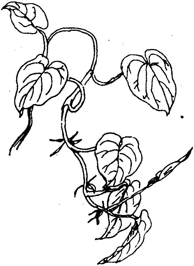 画绿萝的简笔画步骤