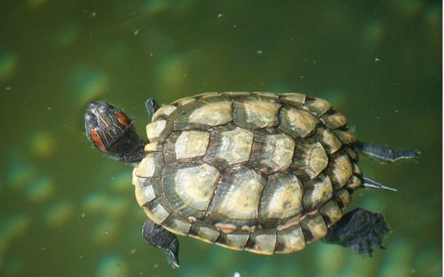 乌龟(动物名称)