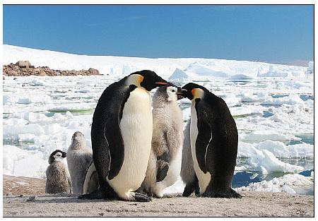 壁纸 动物 企鹅 450_313